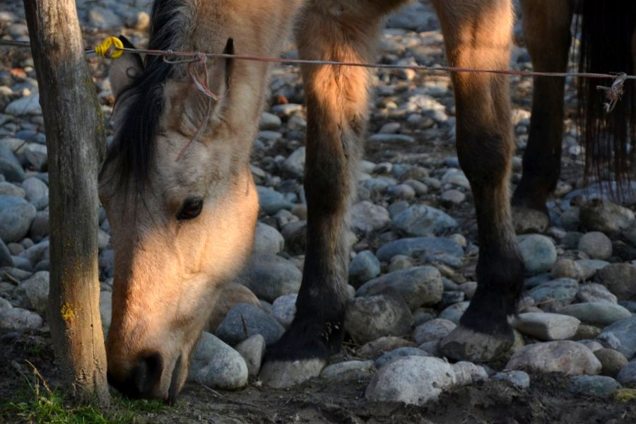 cavalli_pica